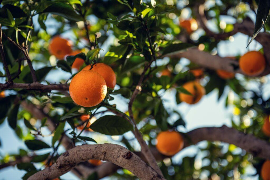 An orange tree bursting with ripe fruit